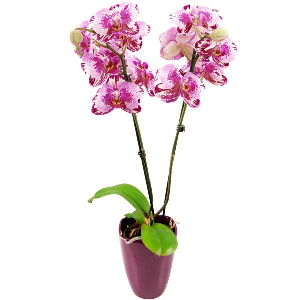 bluvesa-blumenversand-pflanze-versenden-zimmerpflanze-rosa-pink-marmorierte-orchidee-phalaenopsis-keramik_bertopf_1.jpg