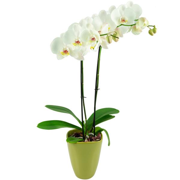 bluvesa-blumenversand-pflanze-versenden-zimmerpflanze-wei_e-orchidee-phalaenopsis-keramik_bertopf.jpg