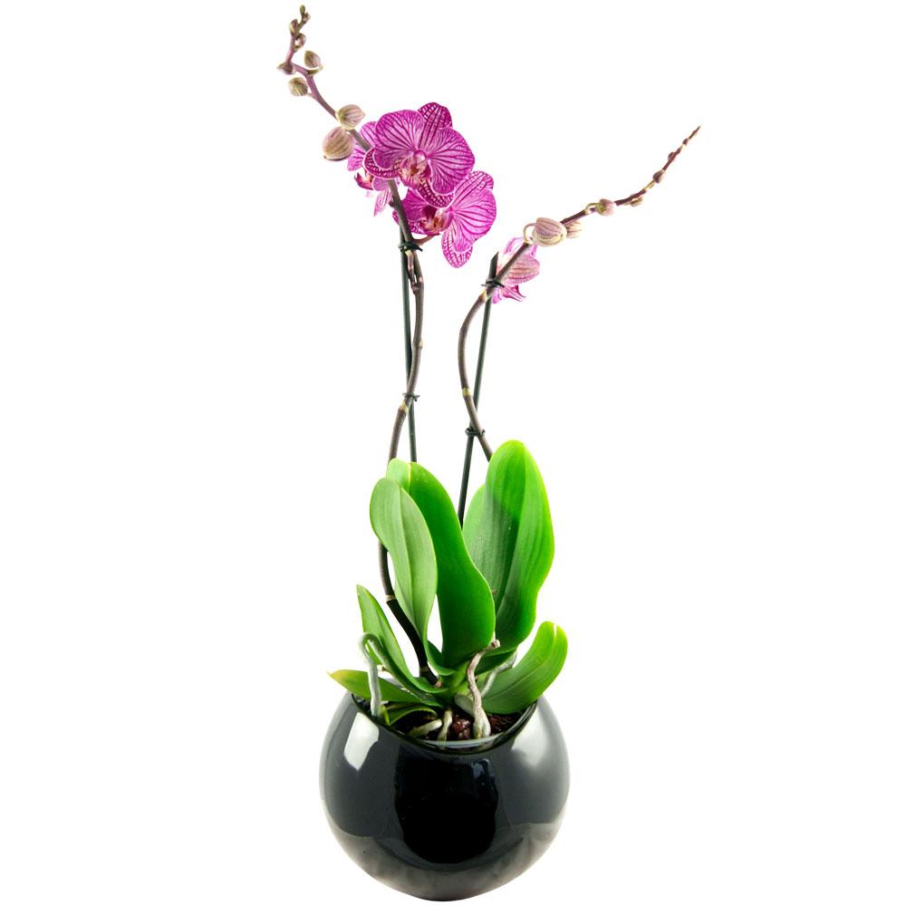 bluvesa_blumenversand_zimmerpflanze_phalaenopsis_rosa_pink_gestreift.jpg