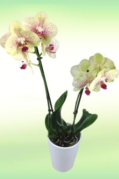 orchidee_gelb.jpg