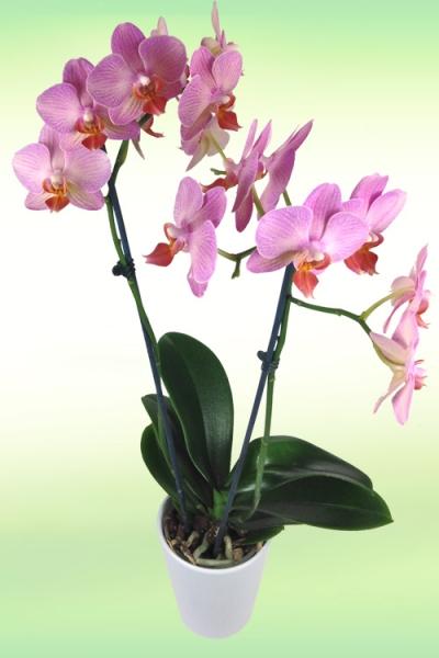orchidee_rosa.jpg
