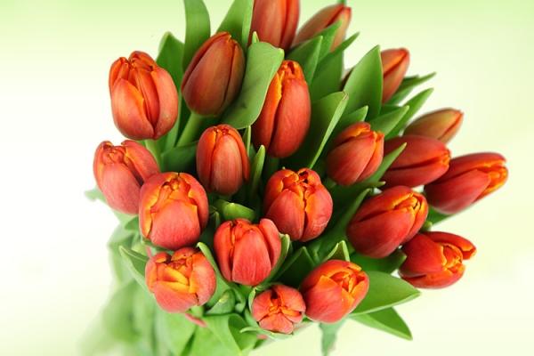 rote-tulpen.jpg