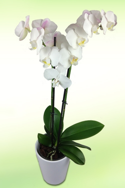 weisse-orchidee.jpg