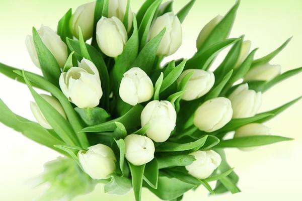 weisse-tulpen.jpg